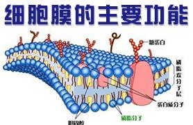 细胞膜的主要功能